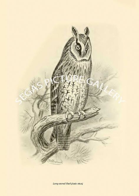 Fine art print of the Long-eared Owl (Asio otus)  by Frederick William Frohawk (1919)